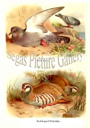 Rock Dove & Red-legged Partridge